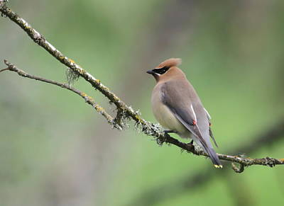 Cedar Waxwing Print by Angie Vogel