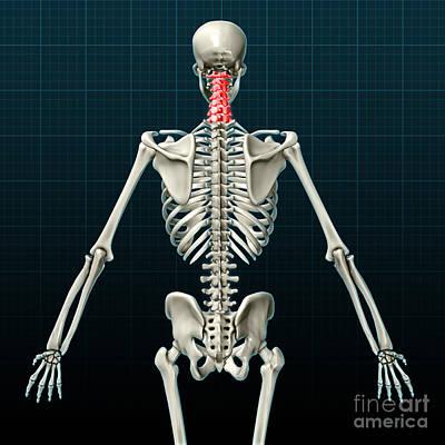 Anatomic Photograph - Cervical Vertebrae, Illustration by Evan Oto