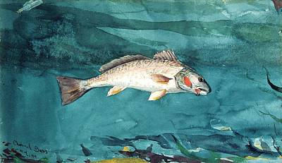 Bass Fishing Drawing - Channel Bass by Celestial Images