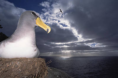 Chatham Albatrosses Nesting On A Cliff Print by Tui De Roy