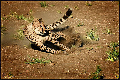 Cheetah Photograph - Cheetah Chase by LeeAnn McLaneGoetz McLaneGoetzStudioLLCcom