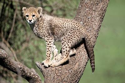 Cheetahs Photograph - Cheetah Cub Acinonyx Jubatus Climbing by Panoramic Images