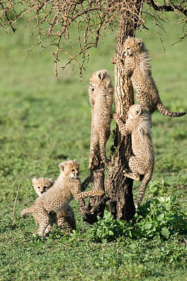 The Big Five Photograph - Cheetah Cubs Acinonyx Jubatus Climbing by Panoramic Images