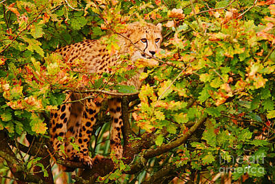 Cat Photograph - Cheetah In A Tree by Nick  Biemans