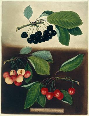 Cherries Print by British Library