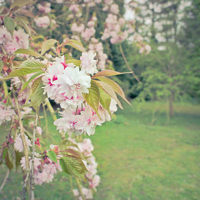 Cherry Blossom Print by Tom Gowanlock