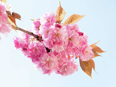 Cherry Blossoms Photograph - Cherry Blossom by Wladimir Bulgar