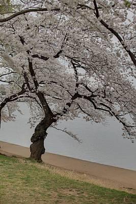 Cherry Blossoms - Washington Dc - 011343 Print by DC Photographer