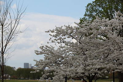 Cherry Blossoms - Washington Dc - 011346 Print by DC Photographer