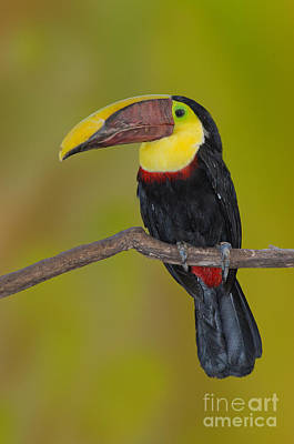 Toucan Photograph - Chestnut-mandibled Toucan by Anthony Mercieca