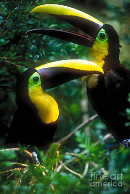 Toucan Photograph - Chestnut-mandibled Toucans by Art Wolfe
