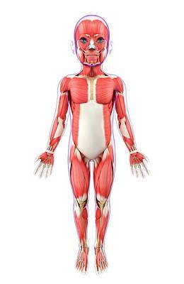 Child's Muscular System Print by Pixologicstudio