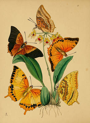 Professional Drawing - Chinese Butterflies 1847 by Philip Ralley