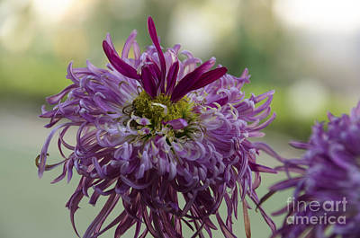 Flowers Digital Art - Chrysanthemum   by Pravine Chester