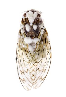 Cicada Infected With Fungus Print by Science Photo Library