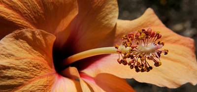 Hibiscus Photograph - Close-up Of A Hibiscus Flower, Pinole by Panoramic Images