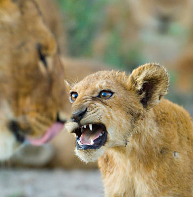 Close-up Of A Lion Cub, Ngorongoro Print by Panoramic Images
