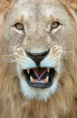 Leo Photograph - Close-up Of A Lion Panthera Leo by Panoramic Images