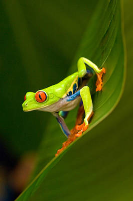 Tree Frog Photograph - Close-up Of A Red-eyed Tree Frog by Panoramic Images