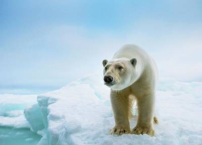 Close Up Of A Standing Polar Bear Print by Peter J. Raymond