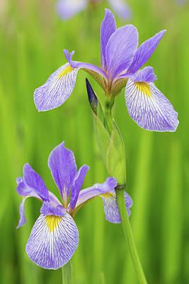 Wetland Photograph - Close-up Of Blue Flag Iris Iris by Panoramic Images