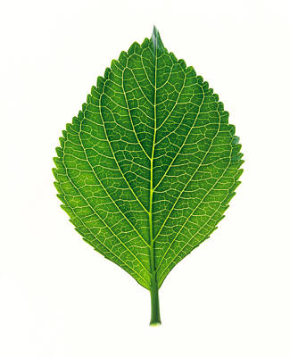 Close Up Of Green Leaf On Light Grey Print by Panoramic Images