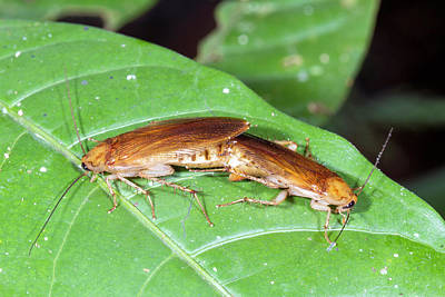 Cockroach Photograph - Cockroaches Mating by Dr Morley Read