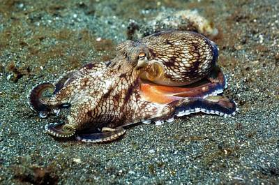 Octopus Photograph - Coconut Octopus by Georgette Douwma