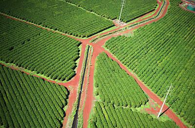 Coffee Trees Grow On Kauai  Port Allen Print by Robert L. Potts