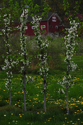 Blossoms At Cold Spring Orchard Print by Mike Martin