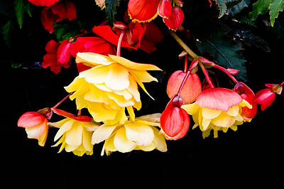 Begonia Garden Photograph - Colorful Flowers by Tom Gowanlock