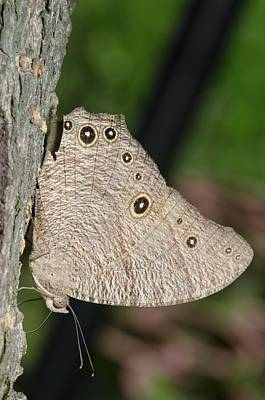Leda Photograph - Common Evening Brown Butterfly by Science Photo Library