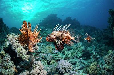 Common Lionfish Print by Georgette Douwma