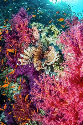 Common Lionfish Hunting A Reef Print by Georgette Douwma