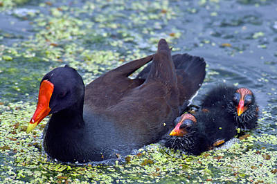 Moorhen Photograph - Common Moorhen Mother With Chicks by Mark Newman