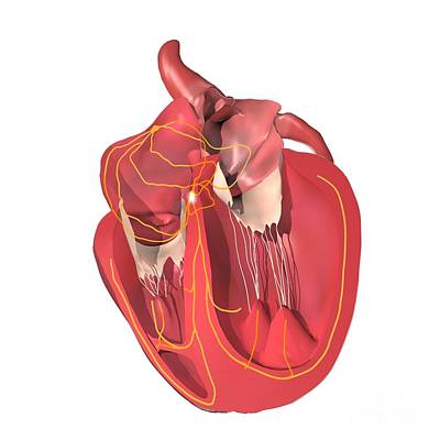Conducting System Of The Heart Print by Medical Images, Universal Images Group