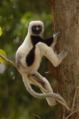 Coquerels Sifaka Madagascar Print by Pete Oxford
