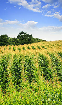Cornfield Photograph - Corn Field by Elena Elisseeva