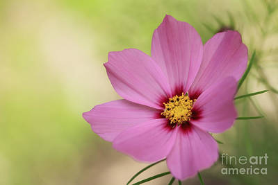Cosmos... Print by LHJB Photography
