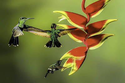Costa Rican Hummingbirds Print by Myer Bornstein