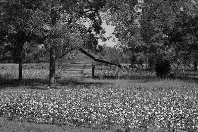 Cotton In Rural Alabama Print by Mountain Dreams