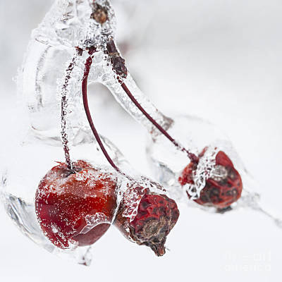 Hoarfrost Photograph - Crab Apples On Icy Branch by Elena Elisseeva