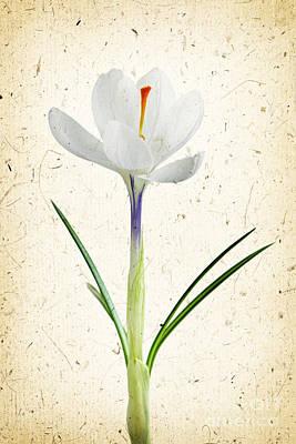 Crocus Photograph - Crocus Flower by Elena Elisseeva