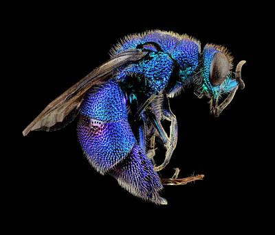 Cuckoo Photograph - Cuckoo Wasp by Us Geological Survey