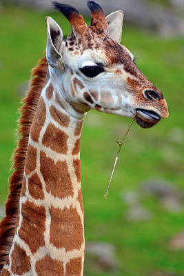 Isolated On White Mixed Media - Curious Giraffe by Toppart Sweden