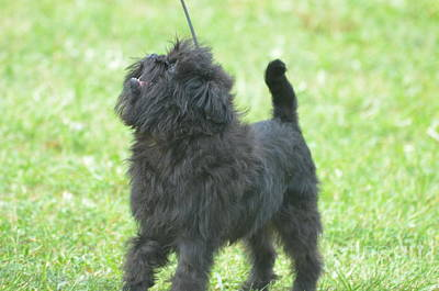 Affenpinscher Photograph - Cute Affenpinscher Dog by DejaVu Designs