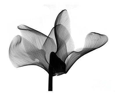 Cyclamen Flower X-ray Print by Bert Myers