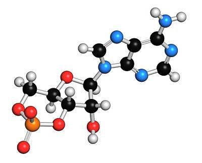 Adenosine Photograph - Cyclic Adenosine Monophosphate Molecule by Molekuul