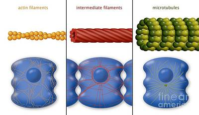 Mitotic Spindle Photograph - Cytoskeleton Components, Diagram by Art for Science