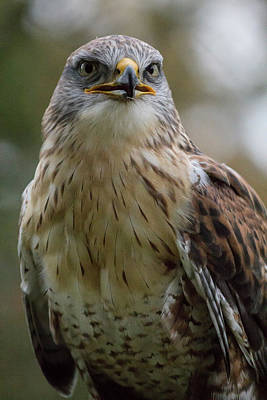 Red-tailed Hawk Photograph - Czech Republic, Liberec, Sychrov by Emily Wilson